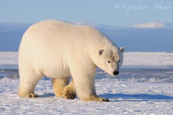 Polar bear (Ursus maritimus), Alaska.